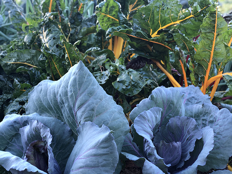 spring vegetables (chard, cabbage)