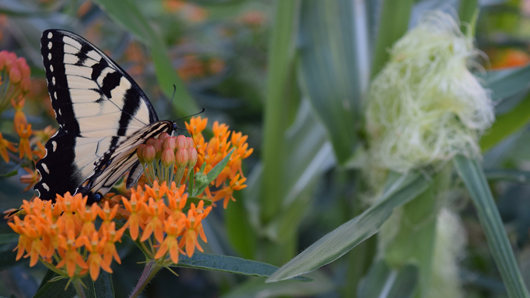 an eastern tiger swallowtail visits milkweed for nectar